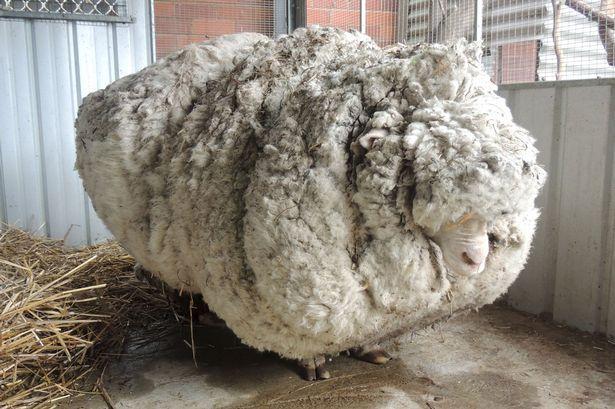 Rekor Melucuti Bulu Domba yang Luar Biasa   Berita Digital Kalteng