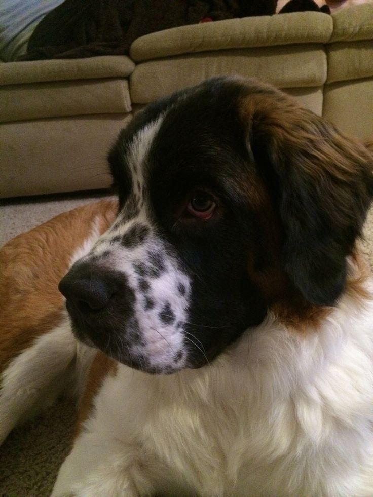 My 7 month old St. Bernard Sampson