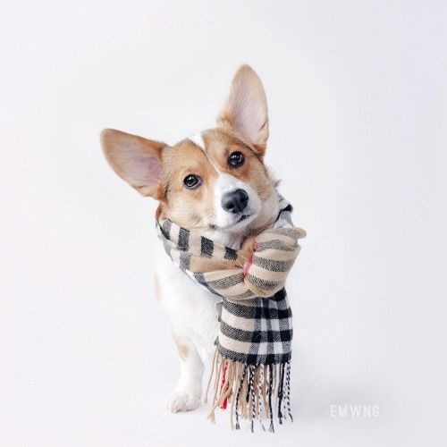 Who can resist a fashionable corgi sporting Burberry?