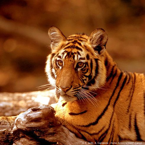 World Wildlife Fund | WWF Gift Center Adopt a Tiger-share your passion for life.
