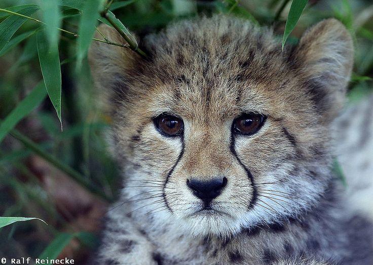 Young Cheetah - Zoo Wien Schönbrunn October 03