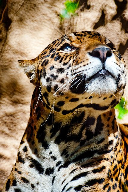 The Majestic #Jaguar is a sacred animal and represents the afterlife in the #Mayan cosmovision.