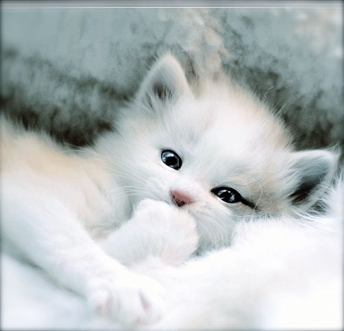 Who could possibly refuse  adorable cuteness of Snowpuff  Surrender