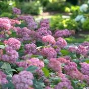 Invincibelle® Spirit ...Smooth Hydrangea....Hydrangea arborescens,  Rich pink flowers bloom from early summer to frost. Dark pink buds open to hot pink flowers which then turn soft pink as they mature, finally changing to green at the end of their life cycle. Very hardy. Reliable bloomer. Native.