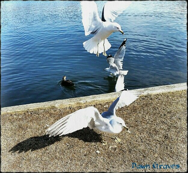 Some sea gulls coming to get food