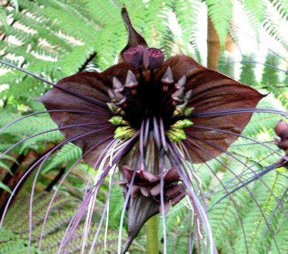 Tacca Chantrieri Aka Black Bat Flower Merci To Annick Thevenot For The Correction Strange Flowers Orchid Seeds Unusual Flowers