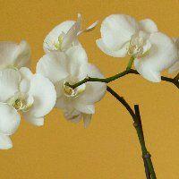 Orchidea gondozása, igényei, szaporítása, tippek és tanácsok