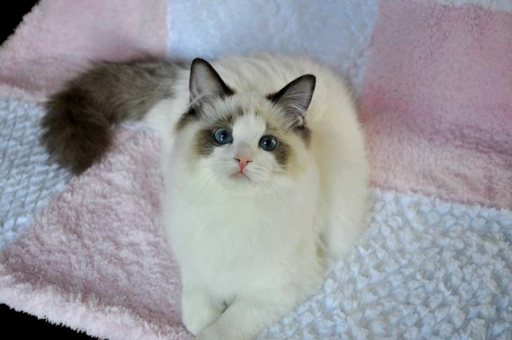 Ragdoll Kittens & Cats by Willow Tree Rags Ragdoll Cattery - Our Family