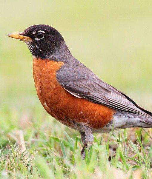 70 Best Oiseaux Du Québec