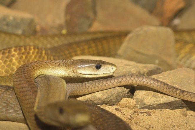 2 ブラックマンバ ブラックマンバは我々の文化では危険を象徴することで有名だが この名前自体が流行っているのであなたに取って違う意味を持つかもしれない この蛇は南アフリカ付近では最も猛毒である 名前とは異なり 色は黒くないのでまわりの砂漠環境と外見の