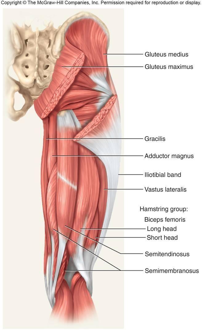 Musculatura de la pierna.