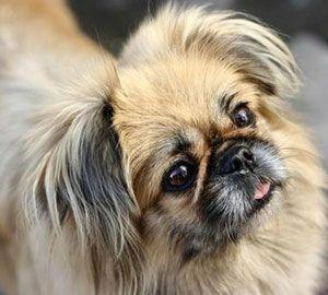 Cão raça Pequinês