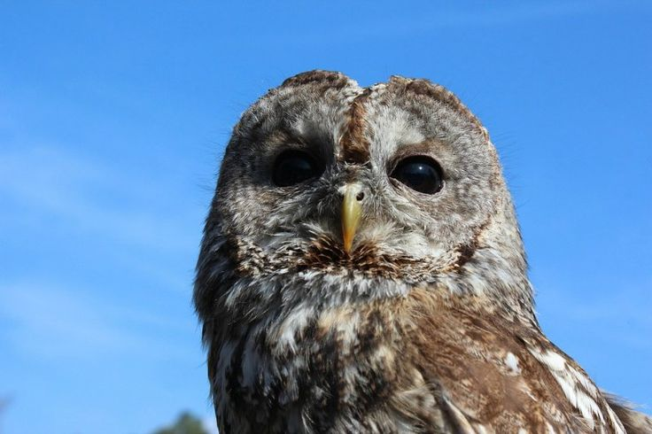 Tawny Owl Species
