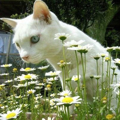 Fukumaru among the daisies