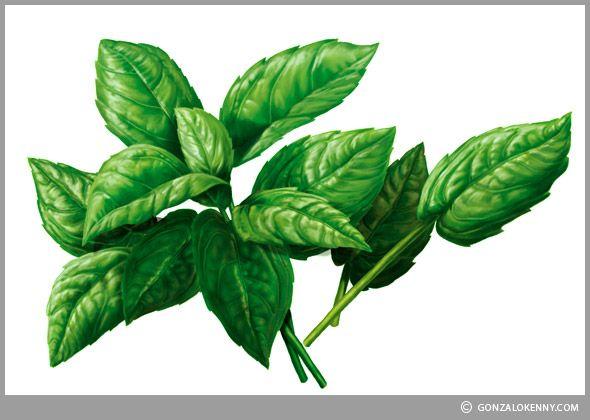 Albahaca - Fideos Don Vicente   Ilustraciones para rediseño de packs  Ilustración para Envases - Ilustración de Empaques - Packaging Illustration