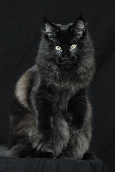 Black Maine Coone cat