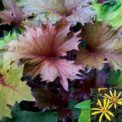 """Ligularia Osiris Café Noir  ---  Foliage emerges purple -black, aging to bronze with burgundy veins & undersides, and then to deep olive green. Large gold daisies in mid-summer. Impressive accent by ponds or marshy spots. For mid to full shade in moist to wet fertile soil. 16-24"""" tall & wide."""