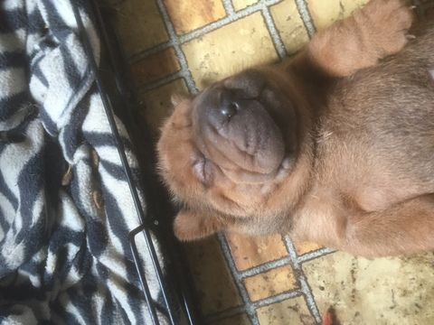 Litter of 3 Chinese Shar-Pei puppies for sale in BOB WHITE, WV. ADN-31275 on PuppyFinder.com Gender: Male. Age: 5 Weeks Old