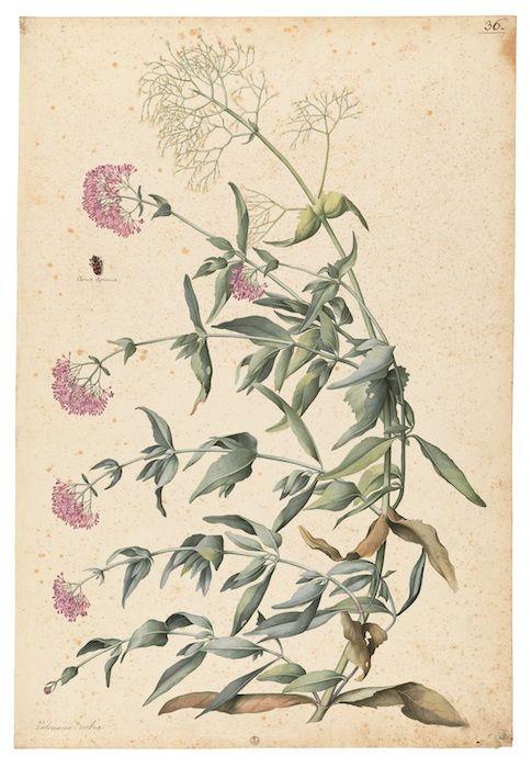 Mostra Jacopo Ligozzi Firenze - Tavole botaniche -  Valeriana rubra (Centranthus ruber L.) e un insetto (Clerus apianus L.), 1577-1587 ca