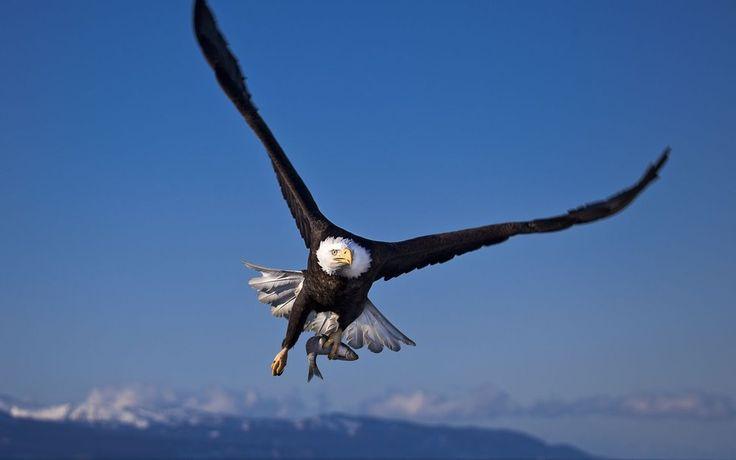 Aves de presa, águila volando con peces wallpaper - ForWallpaper.com
