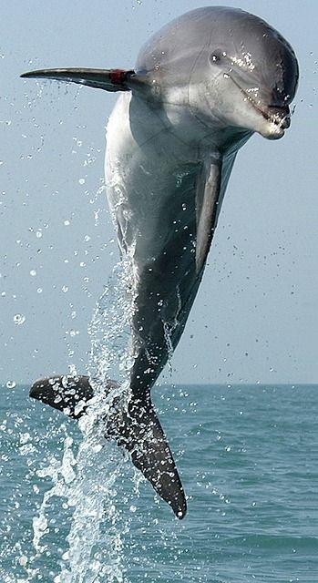 Free photo: Dolphin, Jumping, Leaping, Swimming - Free Image on ...