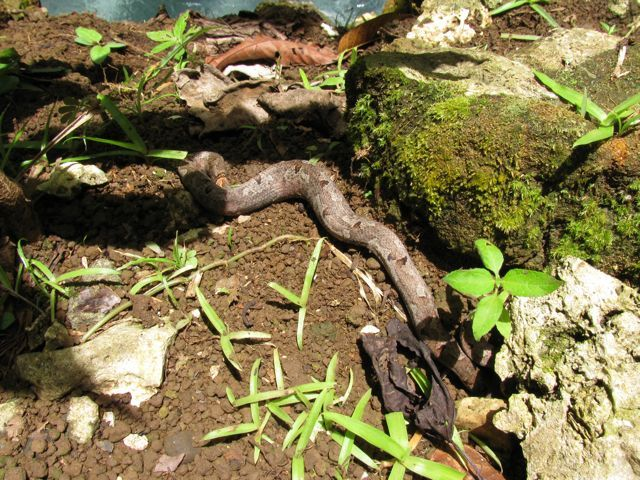Papuan Tree Boa - Balek Wildlife Sanctuary