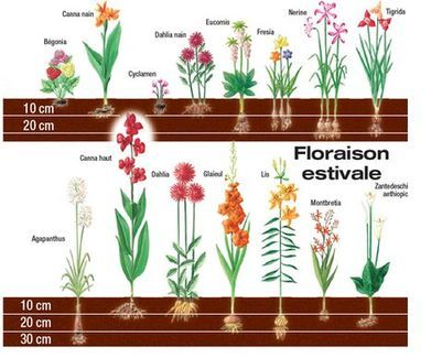 profondeur de plantation des bulbes à floraison estivale - Moins de 10 cm : Bégonia, Canna nain, Cyclamen et Dahlia nain. Entre 10 et 20 cm : Eucomis, Freesia, Canna haut, Dahlia, Glaïeul, Montbretia et Zantedeschia aethiopica Plus de 30 cm : Nerine, Tigrida, Agapanthus et Lys.