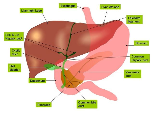Connecting Liver Disease and Gilbert's Syndrome