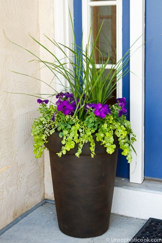Shade plants, to pot ourselves for the front porch. Dracaena, beautiful deep purple Petunias &  Lysimachia