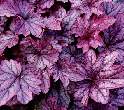 Heuchera Shanghai, coral bells. Has white bell flowers. Bright purple foliage! Needs moist well-drained soil and Shade.