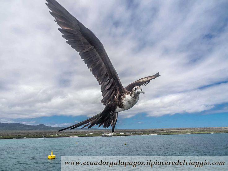 Grazie all'apertura alare di circa 220 cm, la fregata magnifica, la fregata è in grado di stare giorni e notti in volo senza approdare sulle terraferma. #santacruz #galapagos #ecuador #isola #island #sudamerica #southamerica  #fregata #uccello #bird #frigate