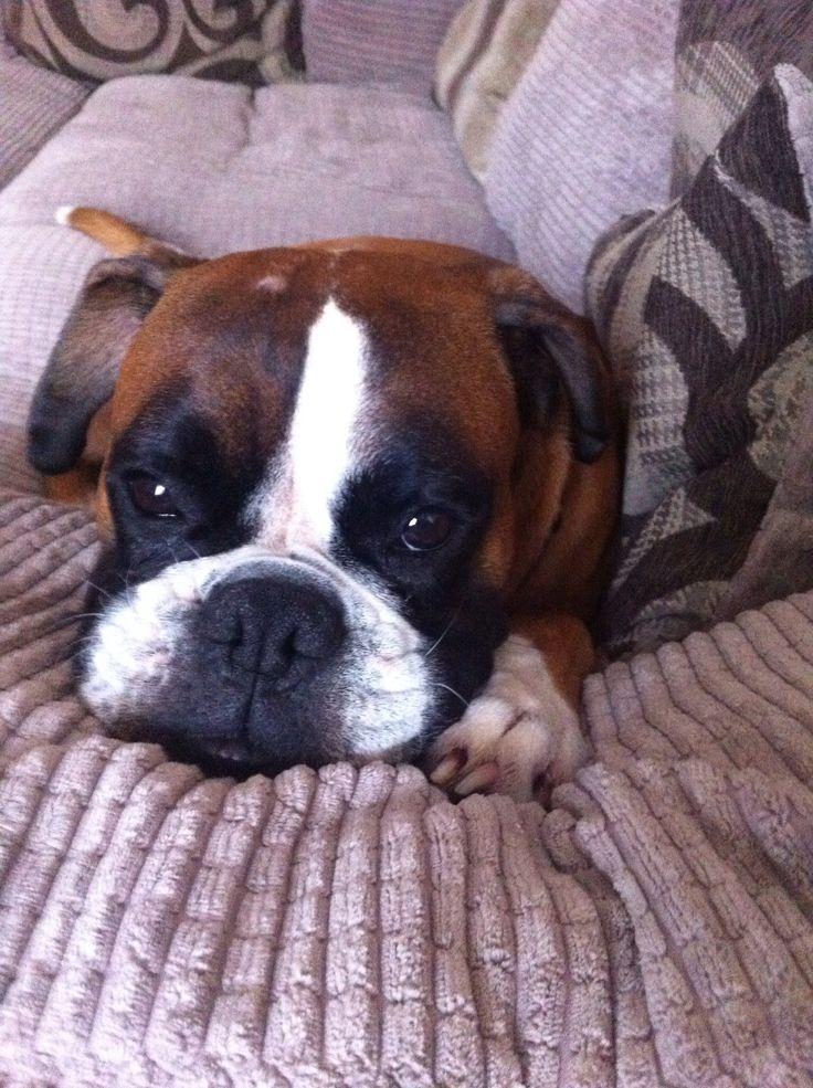 Too darn cute boxer dog