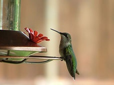 Make Hummingbird Food there's no need to buy....4 cups boiling water combined with 1 cup sugar till dissolved. let cool completely. store unused food in refrigerator.