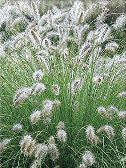 Pennisetum alopecuroides 'Hameln' - lampenpoetsersgras - Siergrassen | Maréchal