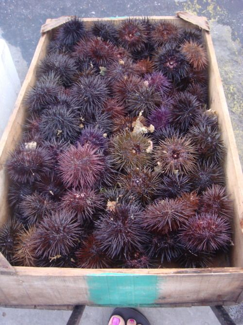 sea urchins, Kalymnos Greece