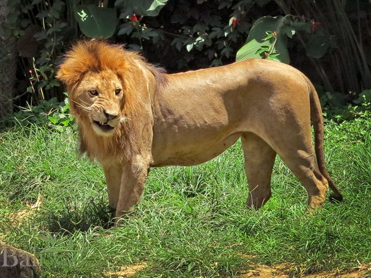 Lion at Bali Zoo - Singapadu, Gianyak, Bali || www.BaliHotelGuide.com