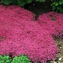 Ground covering plants. Creeping Thyme, Thymus praecox 'Coccineus', has lovely scented foliage that creates a low growing mat that is covered with hundreds of rosy-red flowers in summer