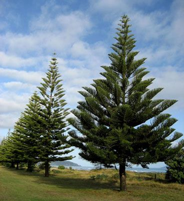 Norfolk Island Pine (Araucaria heterophylla), an iconic tree synonymous with coastal beachfronts around Australia.