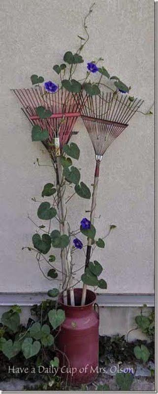 Morning Glories growing on vintage rakes