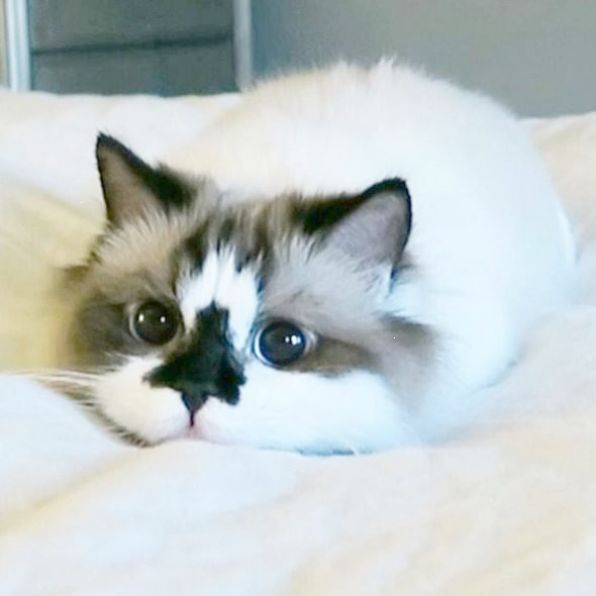 Beauty Is In The Eye Of The Beholder But Certain Cat Breeds Exude An Unmistakable Charm Here Are The Most Beautiful
