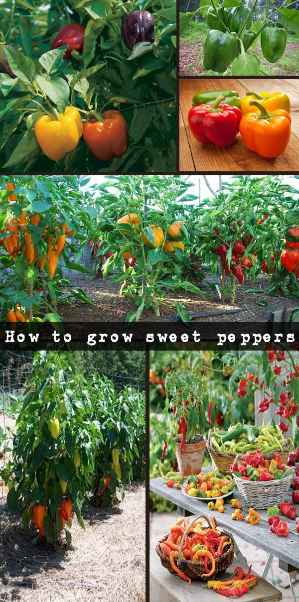 How to grow sweet peppers : useful tips