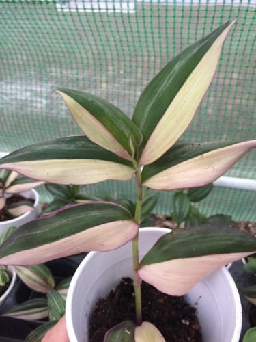 2cutting-Minima-Callisia-Repens-Bolivian-2-tradescantia-Zebrina-Pendula-Tricolor