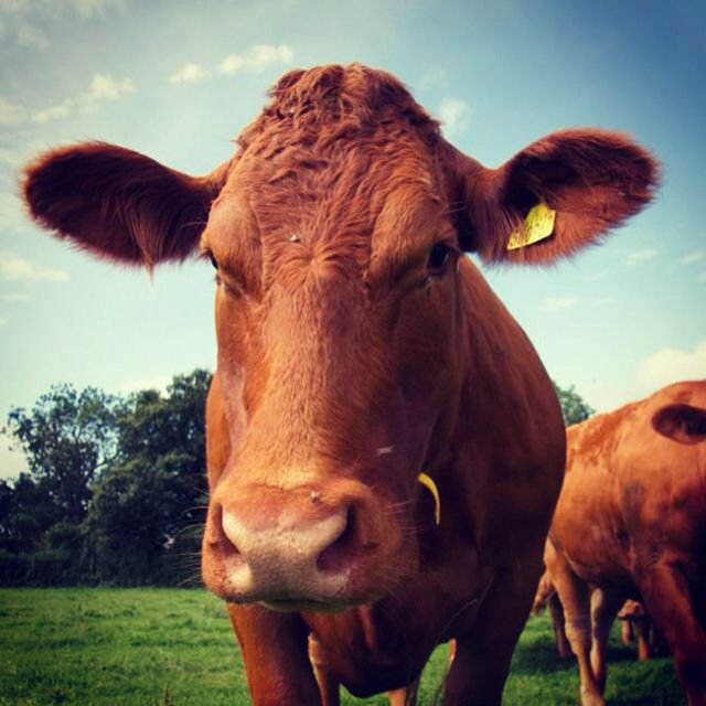 South Devon cattle the grove herd