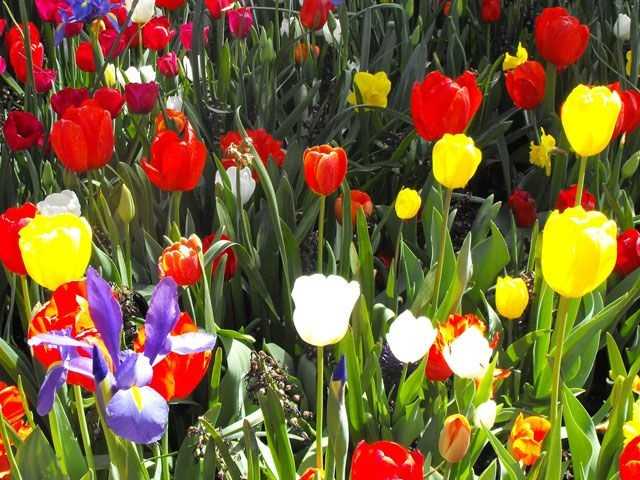 You never think of Australia as having a lot of tulips!