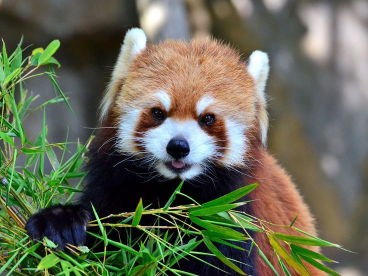 The Science of Cute and Why You Want to Bite This Baby Red Panda ...