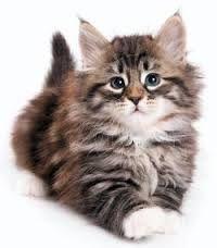 Resultado de imagen para gatos siberianos