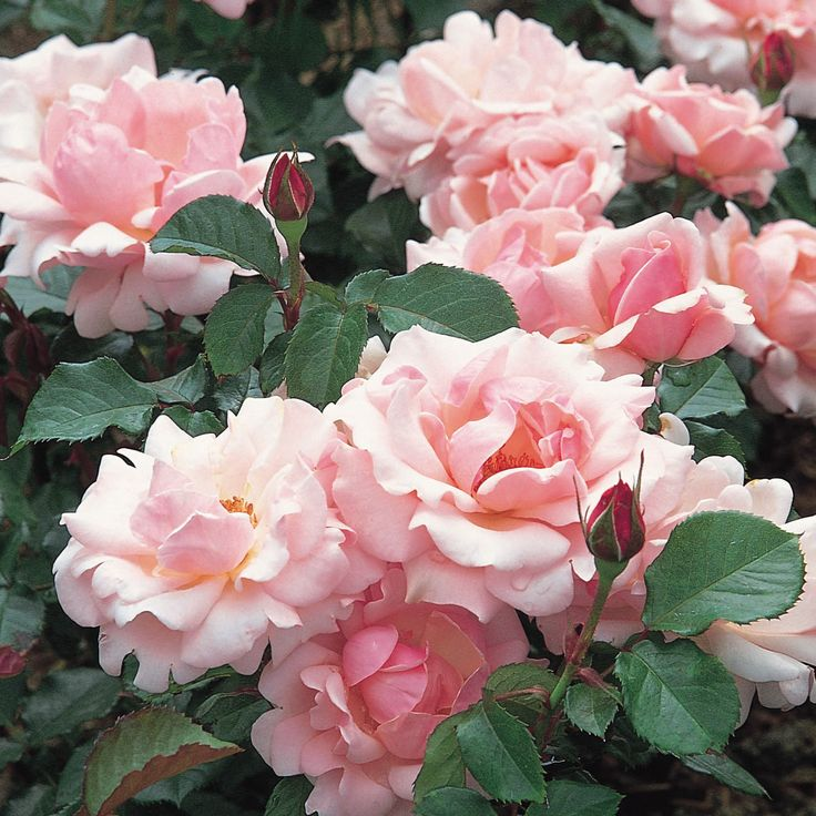 Valentine Heart Roses - David Austin