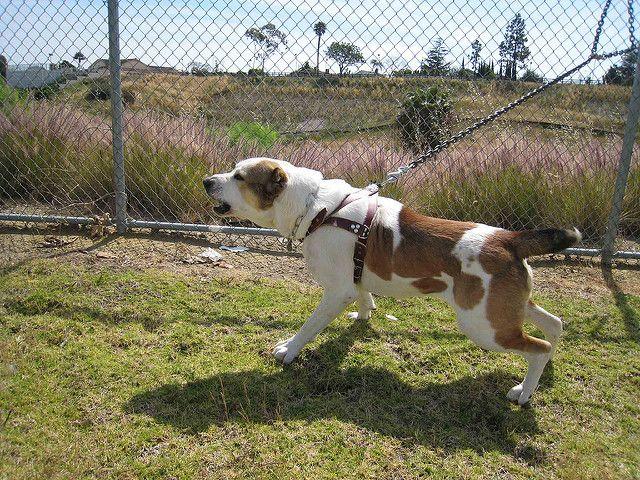 najlepszy psy stróżujące to...? poznaj najlepsze psie rasy do pilnowania posesji i mieszkania cały rok na dworze poza domem