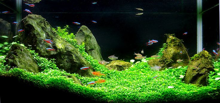 Aquarium Fish Beautiful See Grass Aquascape Freshwater