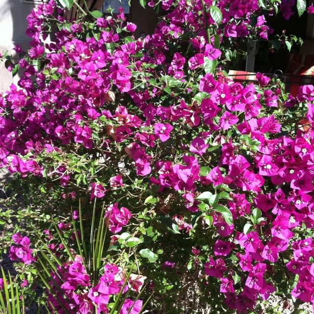 Deep purple flowering bushes